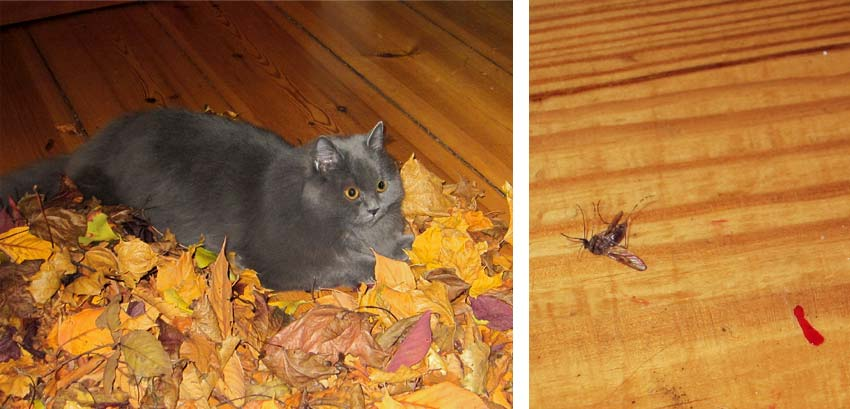 Bild 1: Perserkatze Felina lauert im Laubhaufen im Wohnzimmer. Bild 2: die magere Jagdausbeute, eine erlegte Mücke